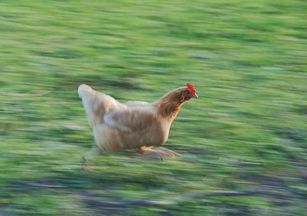 chicken_running_fast_rsz_wiki