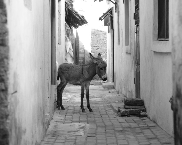 Donkeys of Lamu-4701